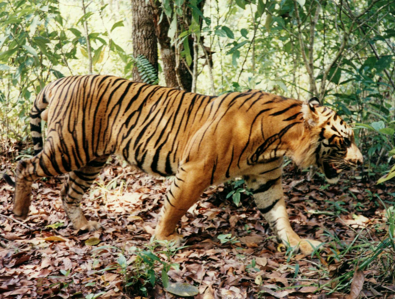 Sumatran Tiger Courtesy Richard Ness