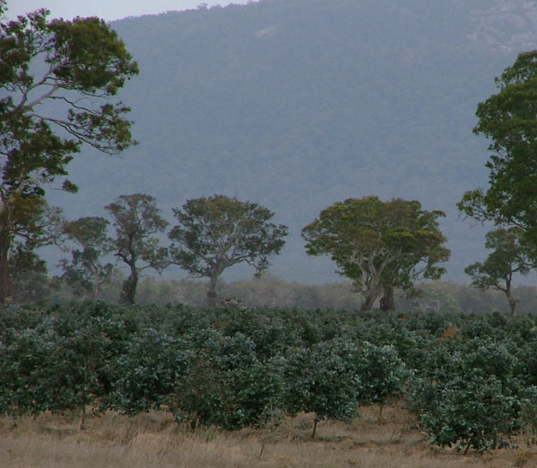 blue gum plantation w_vic nov_06