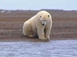 polarbearcreditsusannemiller