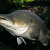 Murray Cod Wikipedia