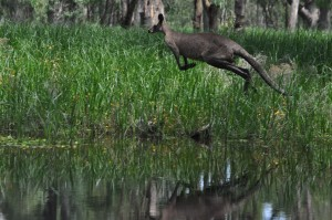 Flooding Faye 098 Kangaroo