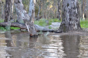 Red gums flooding