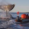 Bowhead Whale Harvest