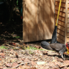 Bush turkey wanting to build a nest