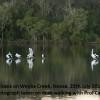 Pelicans Weyba Creek