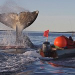 Bowhead Whale Could Slow US Plan for OffShore Oil Drilling