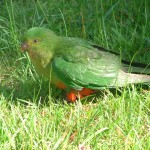 An Old Queen Parrot