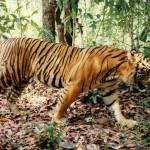World's Mammals under Increasing Threat, including The Sumatran Tiger