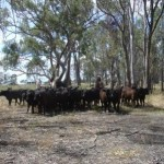 Cattle Still in the Barmah Forest