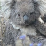 No 'Happy New Year' for Koalas in the Central Murray Valley