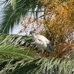 Merry Christmas & Beware the White Ibis