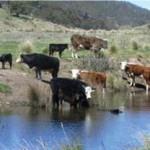 Cattle as Part of the Australian Landscape