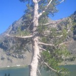 White Bark Pine Trees (Part 2): A Note from James Mayeau