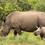 Why to 'Like' a Legal Rhino Horn Trade