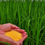 Scientific Community Condemns Destruction of Golden Rice