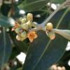 mangrove flowering