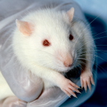 Retraction of GM-Maize Rat Study Findings